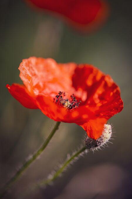 Poppy 03.jpg